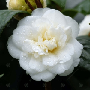 Camellia Nobillisima 3L