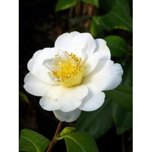 Camellia Silver Anniversary 3L Pot