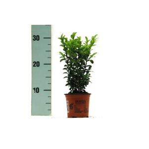 Buxus Hedging 9cm