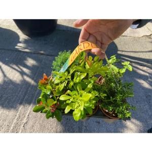 Garden Shrub Mix 6x 9cm pot