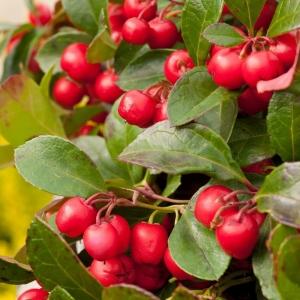 Gaultheria Big Berry 12cm
