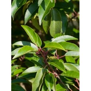 Prunus Lusitanica Angustifolia 3L