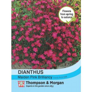Dianthus Maiden Pink Brilliancy