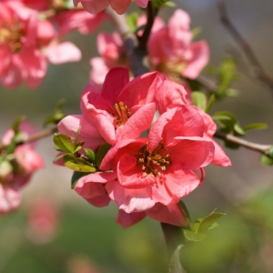 Japanese Quince Pink Lady 3L Pot
