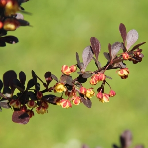 Berberis Thunb Rose Glow 3L