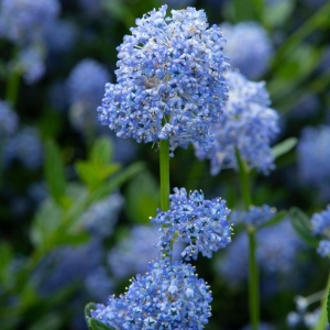 Californian Lilac (Ceanothus) Impressus Victoria 3L Pot