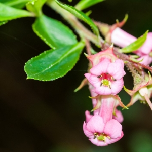 Escallonia Peach Blossom 3L Pot