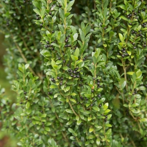 Holly (Ilex) Dark Green 7.5L