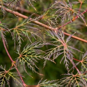 Japanese Maple Emerald Lace 19cm
