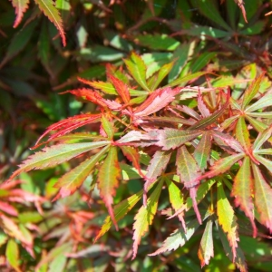 Japanese Maple Jerre Schwartz 19cm