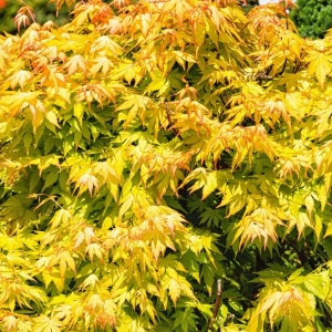 Japanese Maple Orange Dream 19cm