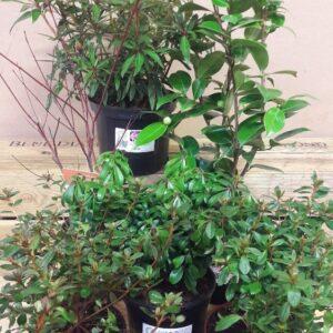 Ericaceous Plant Bundle