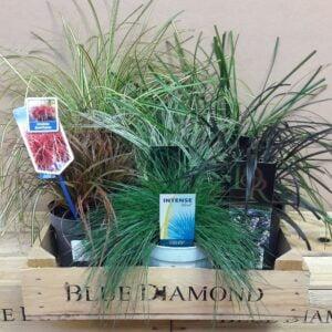 Evergreen Grasses Bundle
