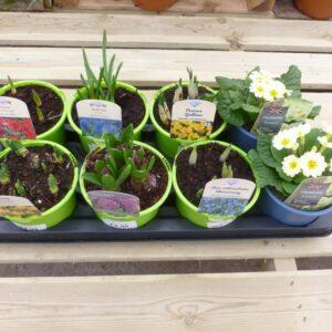 Spring Bulb and Primrose Bundle 1L
