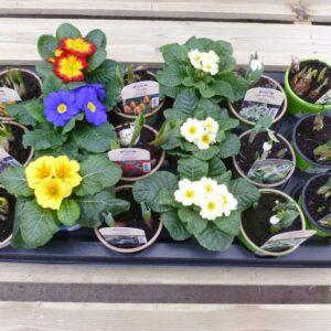 Spring Bulb and Primrose Bundle 9cm