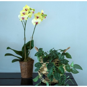 Moth Orchid Yellow COCOZ® 12cm