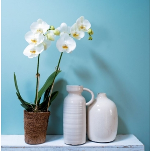 Moth Orchid White COCOZ® 12cm