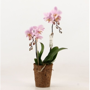 Moth Orchid Pink COCOZ® 12cm