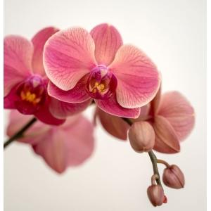 Moth Orchid Orange COCOZ® 12cm