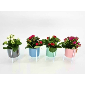 Kalanchoe with Ceramic Pot & Stand 7cm