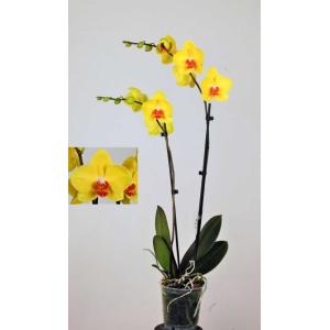 Moth Orchid 'Yellow Queen' 12cm