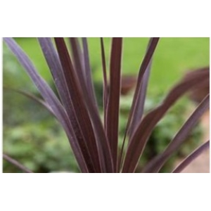 Cordyline Australis Red Star 5L