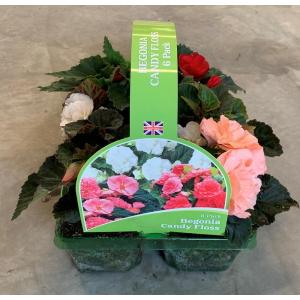 Begonia Candy Floss J6PK