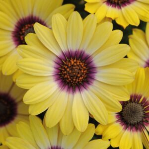 Osteospermum Blue Eyed Beauty 10.5cm
