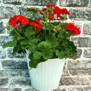 Planted Geranium Bucket White 23cm