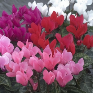 A pack of 4 outdoor mini Cyclamen. Mixed Colours