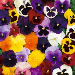 A pack of 24 mixed Autumn/Winter Pansies