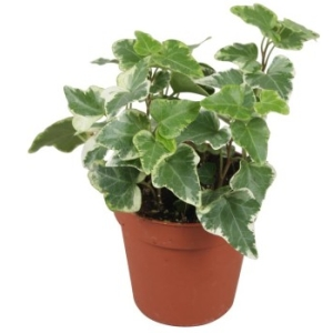 Silver Variegated trailing Ivy in a 9cm pot