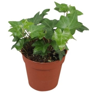 Green trailing  Ivy in a 9cm pot