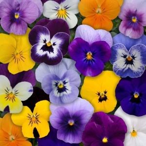 Viola Mixed 24PK
